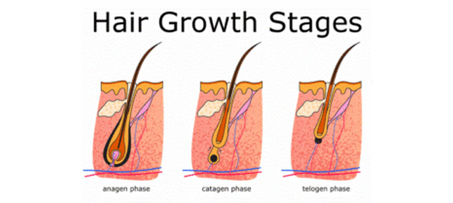 hairgrowthphases